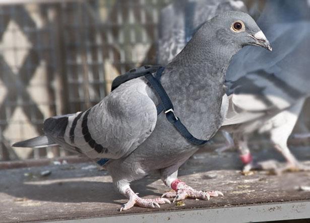 'Pigeon voyageur', une alternative à Megaupload