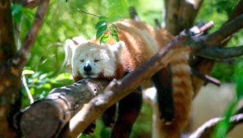 red-panda-1159873_1280